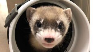 First black-footed ferret cloned in an attempt to revive the endangered species- Technology News, FP