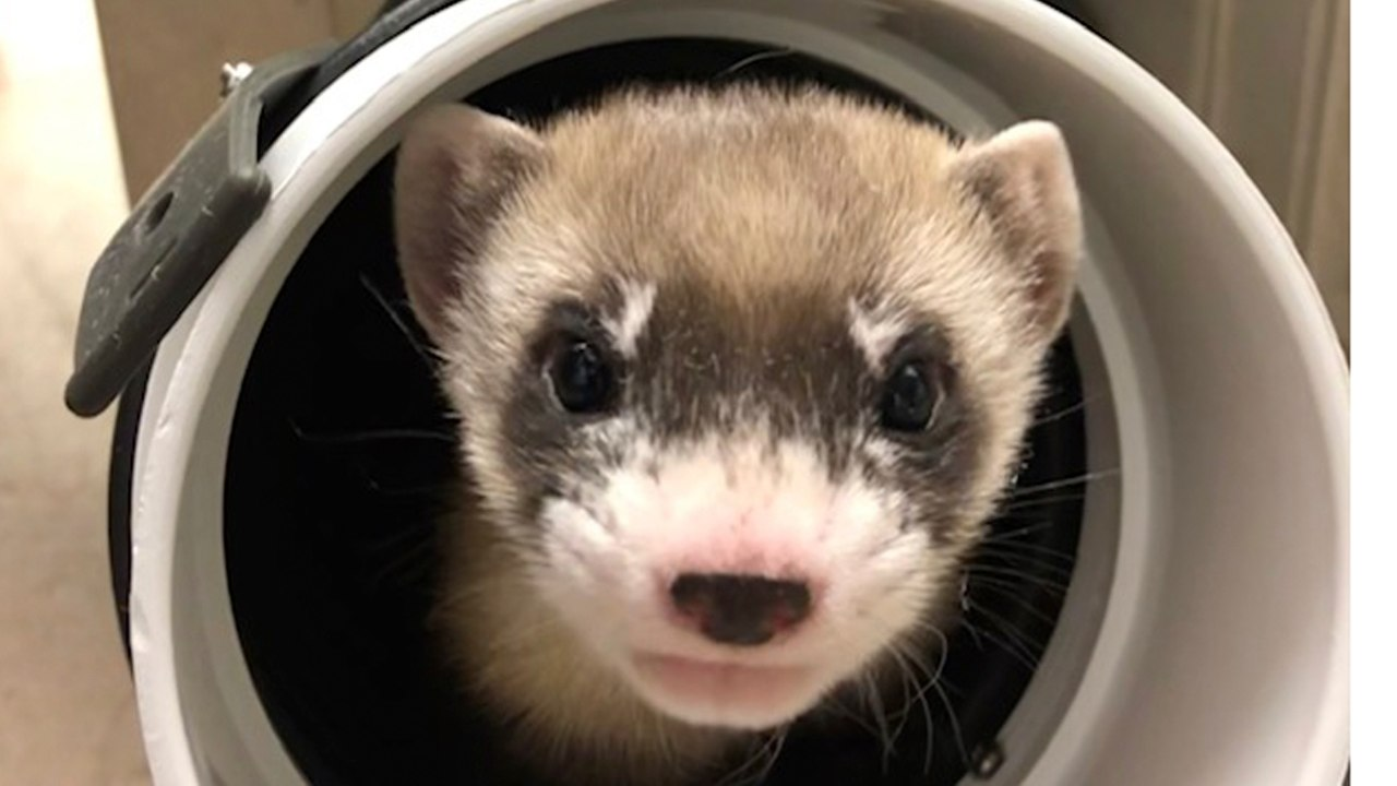 Elizabeth Ann first black-footed ferret cloned in an attempt to helped the endangered species- Technology News, FP