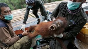 Indonesian orangutans airlifted back into the wild after COVID-19 threat subsides- Technology News, FP
