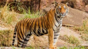 Indian tigers losing their rich genetic variation, habitat loss and inbreeding to blame: Study- Technology News, FP