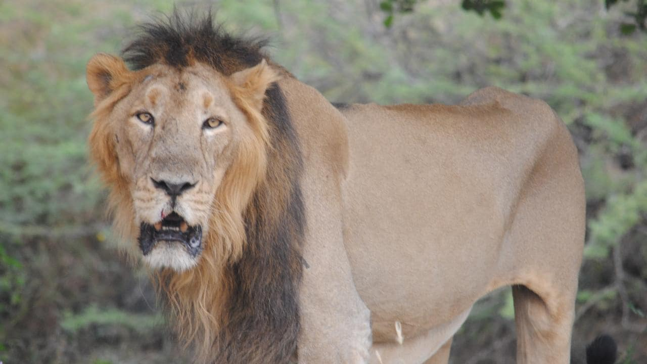 Endangered Gir lions conquer viral threat, experts advise moving some prides to other Parks- Technology News, FP