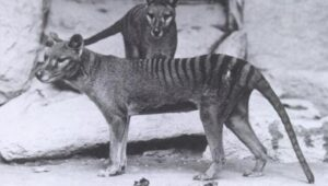 Australian man claims Tasmanian tigers are alive; here's why he could be wrong- Technology News, FP