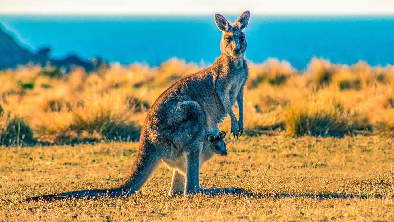 Fossil of extinct tree climbing kangaroo in Australia lived in a treeless plain- Technology News, FP