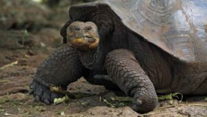 Galapagos island receives 36 endangered giant tortoises bred in captivity, quarantined- Technology News, FP