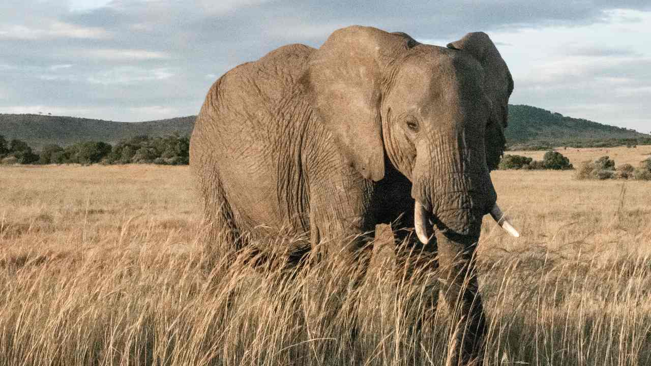 African elephants make it to the IUCN's red list due to poaching, shrinking populations- Technology News, FP