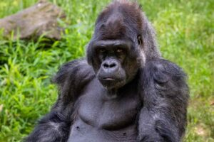 Gorillas' chest thumping allows females, rivals know their size without seeing them- Technology News, FP