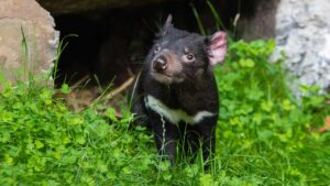 Tasmanian devils born in Australia 3,000 years after going extinct- Technology News, FP