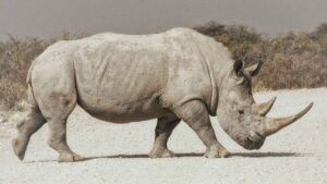 Embryos created to save northern white rhinos from functional extinction- Technology News, FP